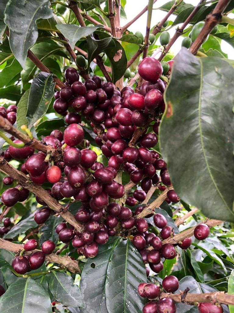 Britannia Coffee